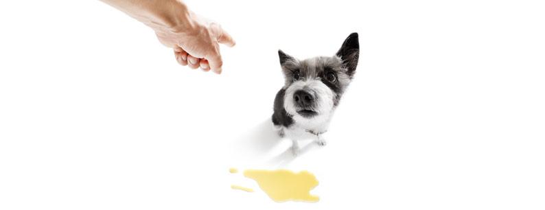 pipi di cane sul tappeto