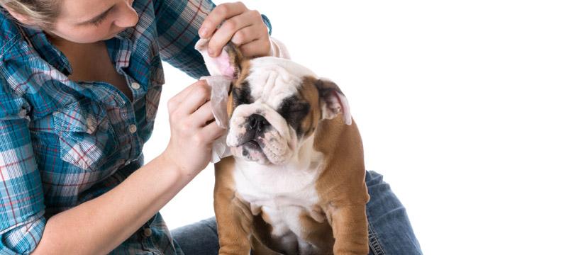 asciugare le orecchie del cane per prevenire problemi