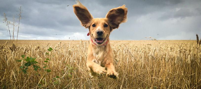 orecchie pulite del cane contento