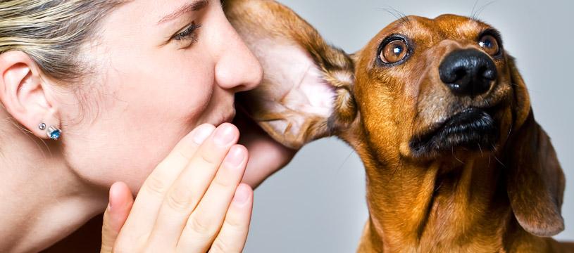 come pulire le orecchie del cane con cura
